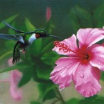 Ruby-Throated Hummingbird  with Yellow Hibiscus 2